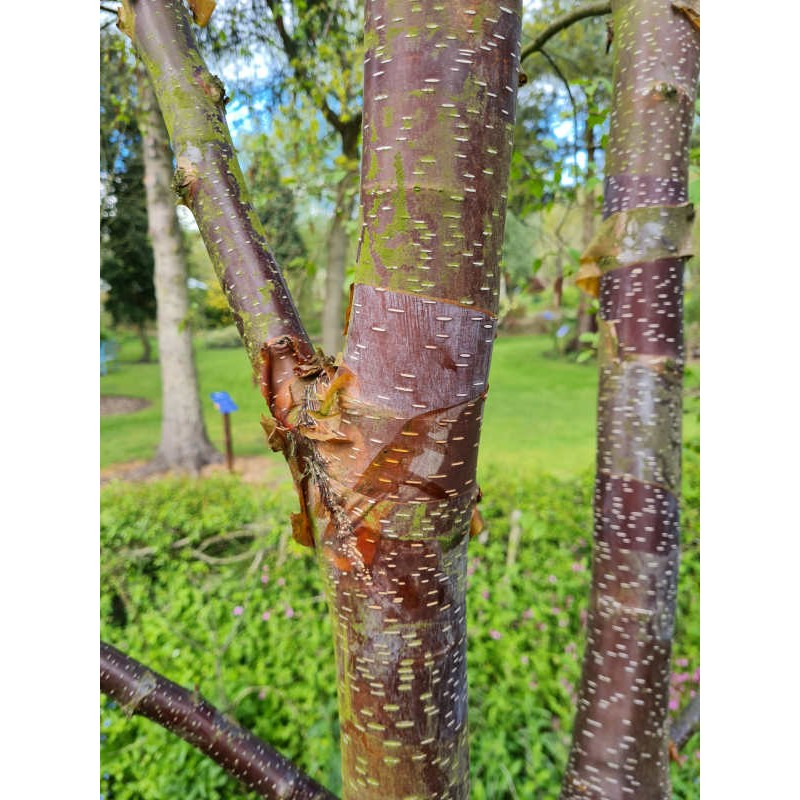Betula utilis 'Dark Ness' - bark colour