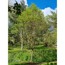 Betula utilis 'Dark Ness' - specimen tree