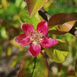Pseudocydonia sinensis - spring flowers