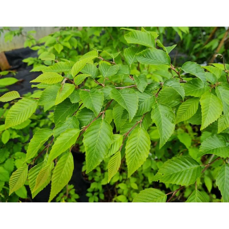 Carpinus henryana - leaves in late May