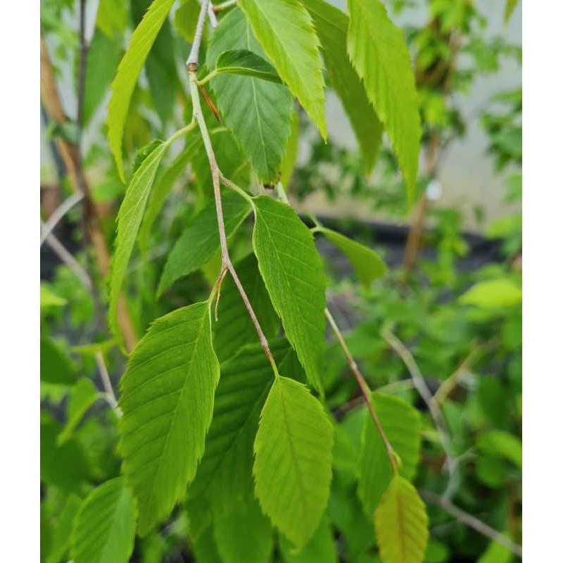 Carpinus omeiensis  - leaves in late spring