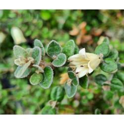 Correa reflexa var. nummulariifolia - flowers in April
