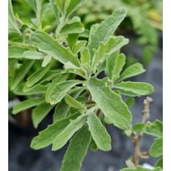 Buddleja × wardii - leaves in late spring