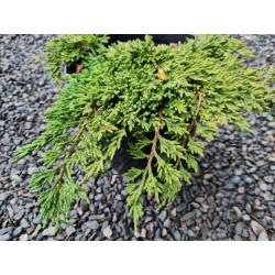Juniperus horizontalis 'Pancake'  - leaves in late May