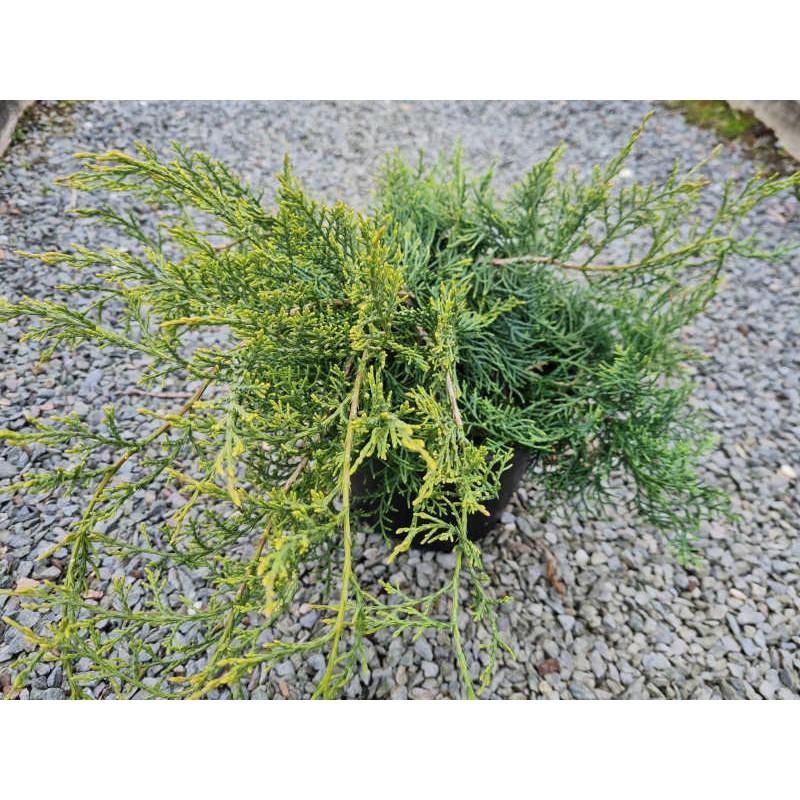 Juniperus virginiana 'Grey Owl' - leaves in late May
