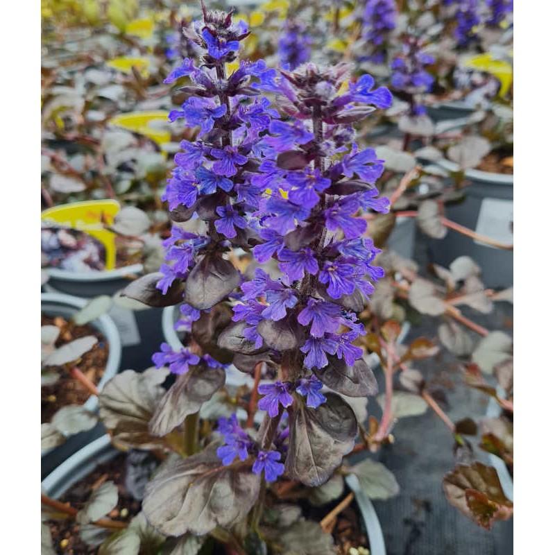 Ajuga reptans 'Black Scallop' - flowers in May