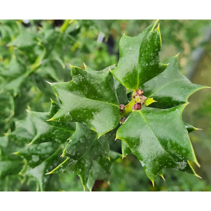 Ilex x 'Indian Chief' - leaves in late May
