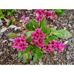 Bergenia 'Dark Damsel' - flowers in May