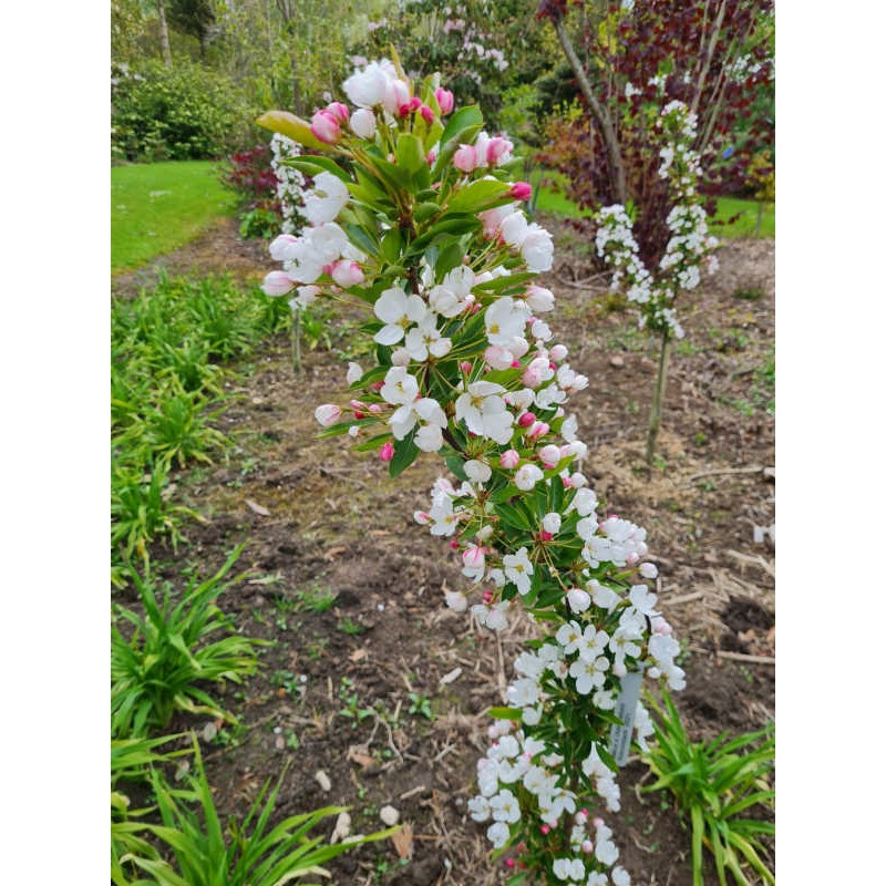 Malus 'Admiration' - group of young plants flowering in May