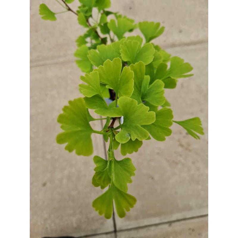 Ginkgo biloba 'Landliebe' - leaves in May