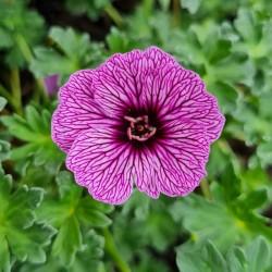 Geranium 'Laurence Flatman' - flower in spring