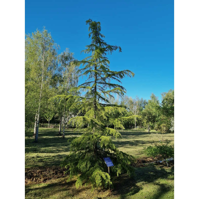 Cedrus deodara - approx 10 year old tree in early summer