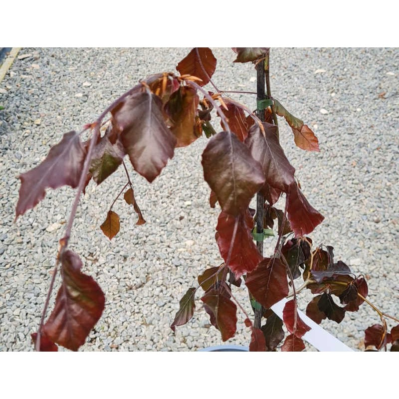 Fagus sylvatica 'Black Swan' - purple leaves on a young plant