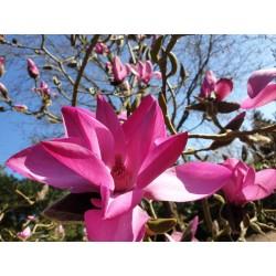 Magnolia x 'J. C. Williams' - spring flowers