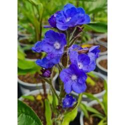 Anchusa azurea 'Loddon Royalist' - flowers in June