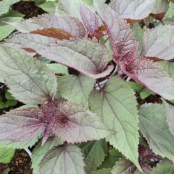 Eupatorium rugosum 'Chocolate' - leaves in late spring