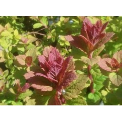 Spiraea x 'Sparkling Champagne' - leaves in spring