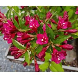 Weigela florida 'Evita' - flowers in early June