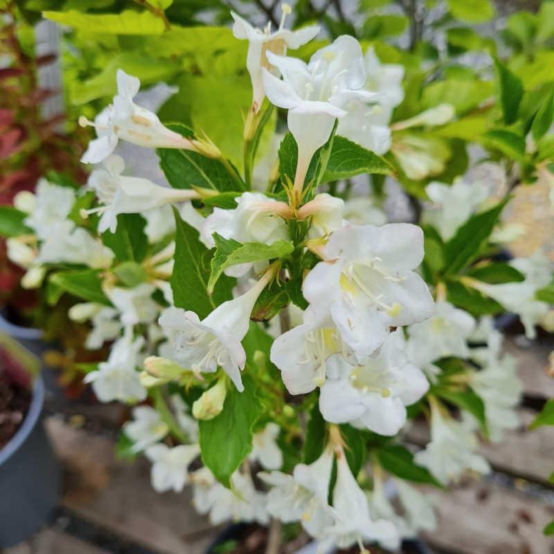 Weigela florida 'Bristol Snowflake' - flowers in early June