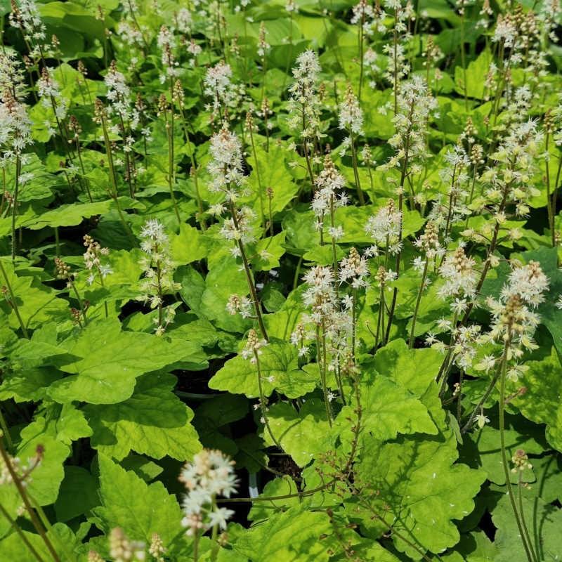 Tiarella wherryi - flowers in early June