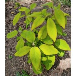 Hydrangea aspera 'Goldrush' - leaves in June