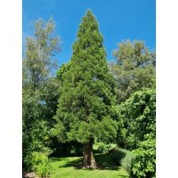 Sequoiadendron giganteum - June