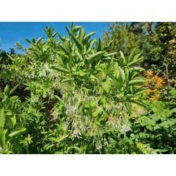 Chionanthus virginicus - flowers in June