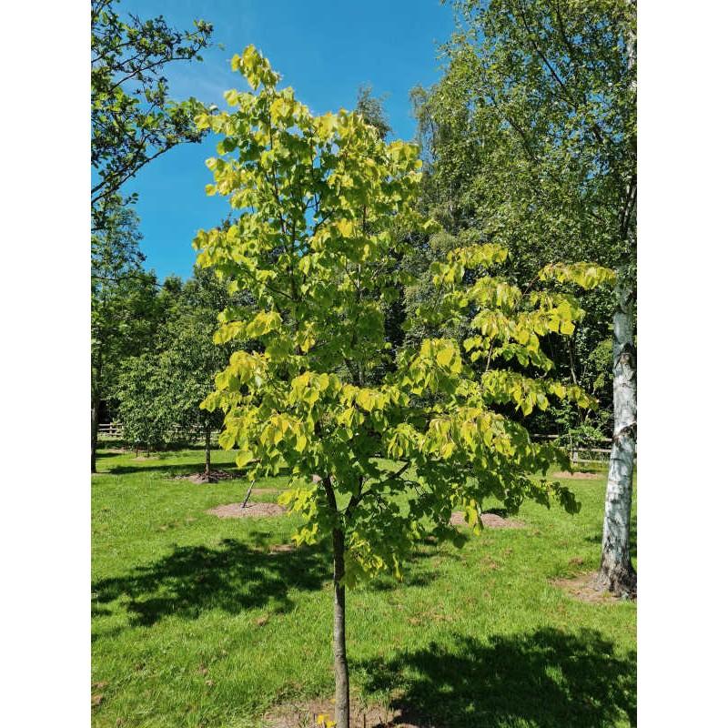 Tilia x europaea 'Wratislaviensis' - young tree