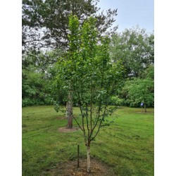Betula x 'Edinburgh' - young 3 - 4 year old tree