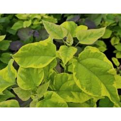 Catalpa bignonioides 'Variegata' - leaves in June