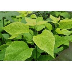 Catalpa speciosa 'Pulverulenta' - leaves in June