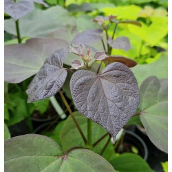Catalpa x erubescens 'Purpurea' - young leaves in early summer