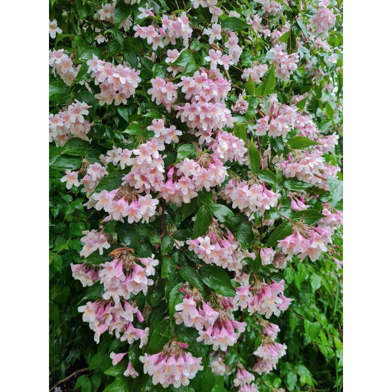 Kolkwitzia amabilis 'Pink Cloud' - masses of flower in June
