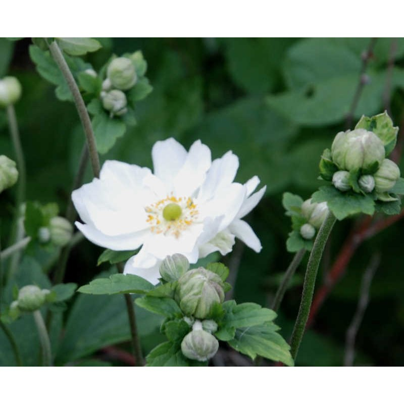 Anemone x hybrida 'Whirlwind' - flowers in late summer