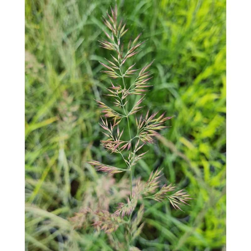Calamagrostis x acutiflora 'Karl Foerster' - flower heads in late June