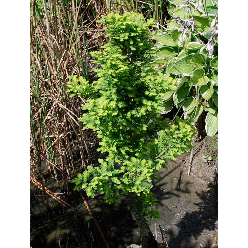 Taxodium distichum 'Peve Minaret' - growing in a pond