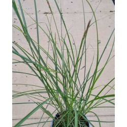 Miscanthus 'Sunlit Satin' - young plant in June