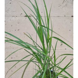 Miscanthus 'Red Zenith'  - young plant in June