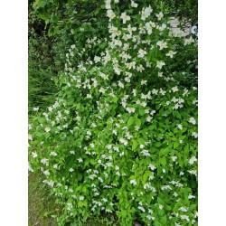 Philadelphus x lemoinei 'Belle Etoile' - established plant flowering in late June