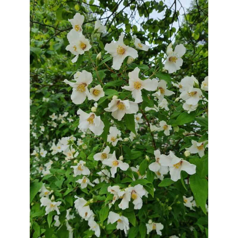 Philadelphus x lemoinei 'Belle Etoile' - summer flowers