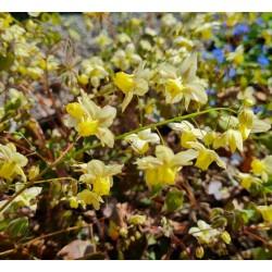 Epimedium x versicolor 'Sulphureum' - spring flowers