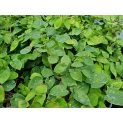 Epimedium x versicolor 'Sulphureum' - leaves in June
