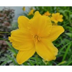 Hemerocallis 'Stella de Oro' - flowers in June