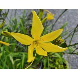 Hemerocallis lilioasphodelus - flowers in June