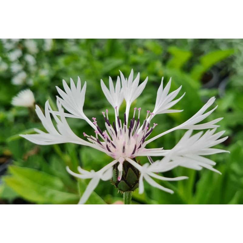 Centaurea montana 'Alba' - flowers in June