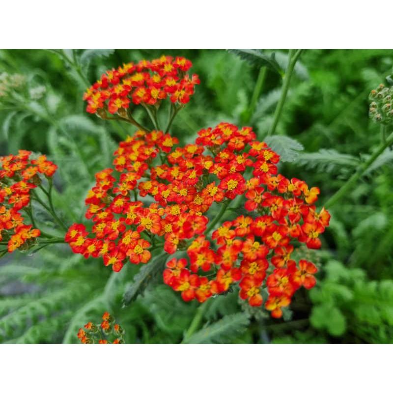 Achillea millefolium 'Walther Funcke' - flowers in June