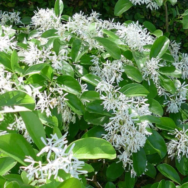 Chionanthus retusus - flowers in early summer