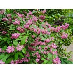 Deutzia x hybrida 'Strawberry Fields' - flowers in late June
