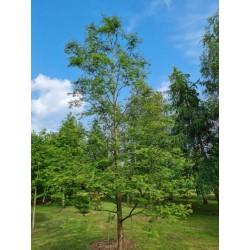 Metasequoia glyptostroboides 'Royal Air'