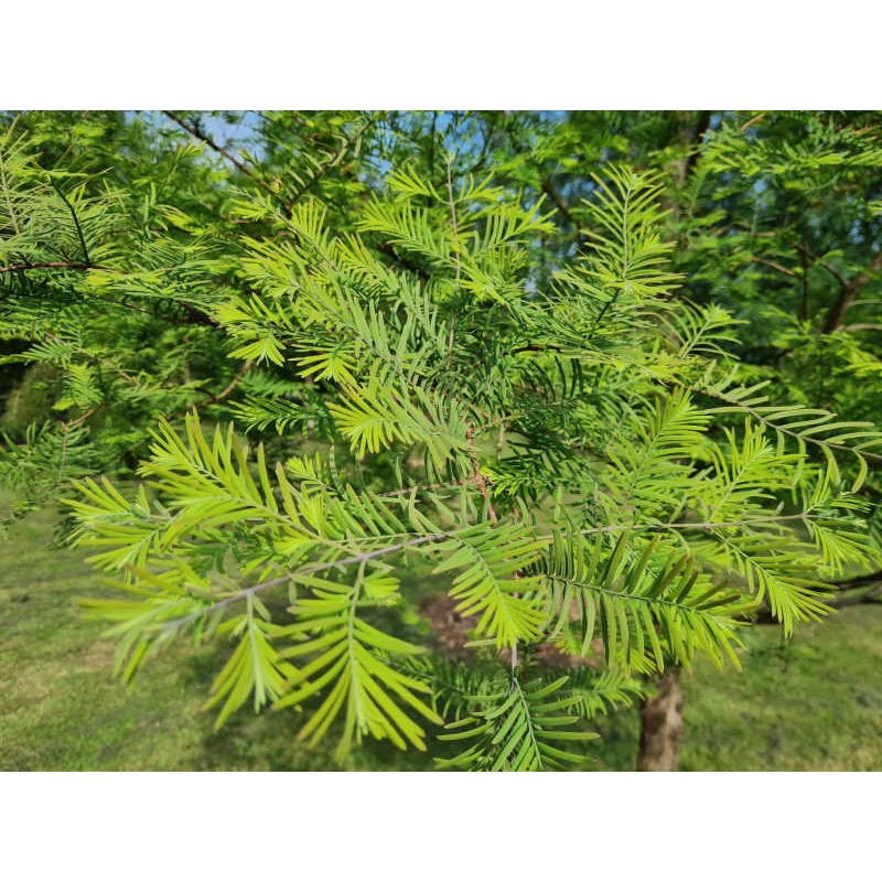Metasequoia glyptostroboides 'Royal Air' - close up of leaves